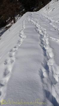 12 deer tracks in the snow