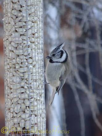 19 crested tit