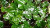10 Ivy