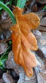 14 Oak leaf