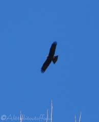 10 Buzzard ( I think)