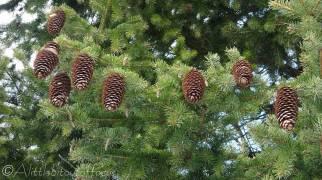 15 Pine Cones