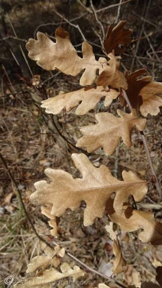 19 Oak leaves