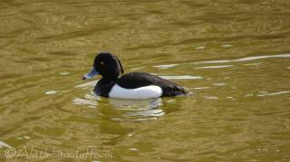 24 Tufted Duck