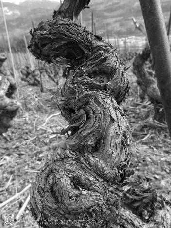 31 Twisted vine (b&w)