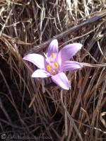 5 Spring Meadow Saffron