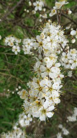 14 Blackthorn flowers