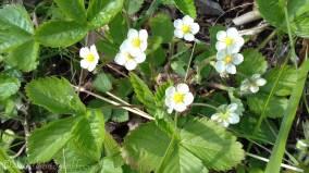 15 Wild Strawberry flowers