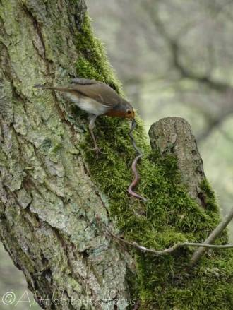 18 European Robin with long worm