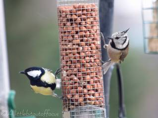 2 Great Tit and Crested Tit