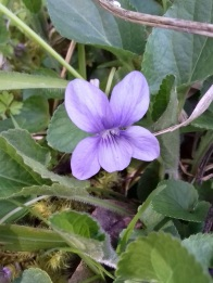 2 Violet