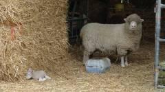 23 Woolly sheep and new-born lamb