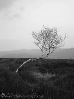 27 Wind-blown tree (b&w)