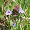 4 Red Dead-nettle