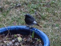 7 Black Redstart (through window)