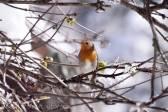 7 European Robin
