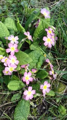 8 Pink Primroses