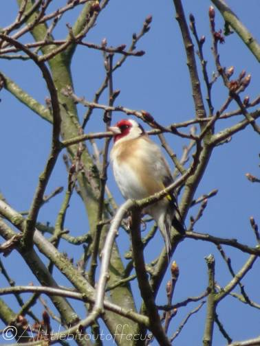 1 Goldfinch