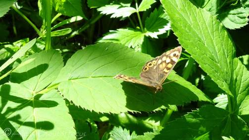 1 Speckled Wood possibly