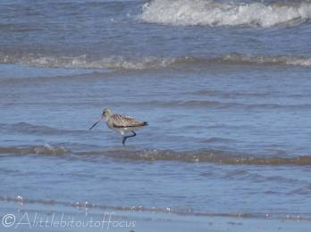 10 Bar-tailed Godwit (I think)