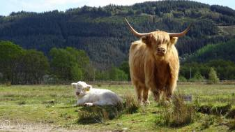 11 Highland cow with white calf