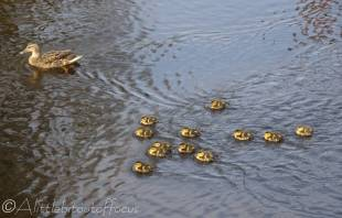 11 Mother duck with 12 of her 13 children