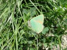 12 Green Hairstreak