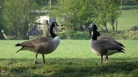 13 Canada geese