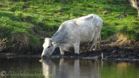 14 Cow in the river