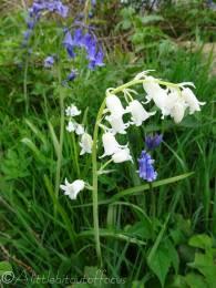 15 Scottish Bluebells and 'White'bells