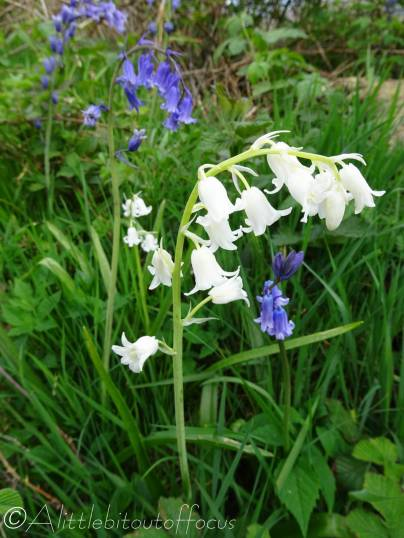 15 Scottish Bluebells and 'White'bells