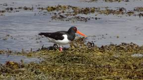 17 Oyster Catcher