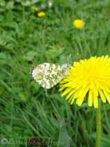 20 Orange Tip underside