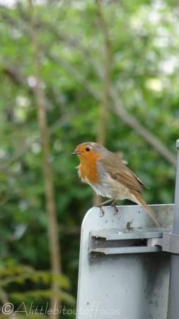 21 European Robin