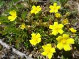 21 Golden Cinquefoil (I think)
