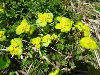 22 Unidentified flower (near stream)