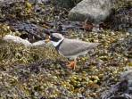 23 Ringed plover