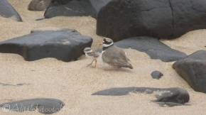 24 Ringed Plover with chick