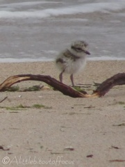 25 Ringed Plover chick