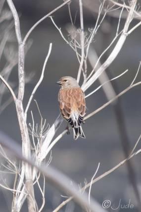28 Another little brown bird