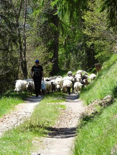 28 Sheep