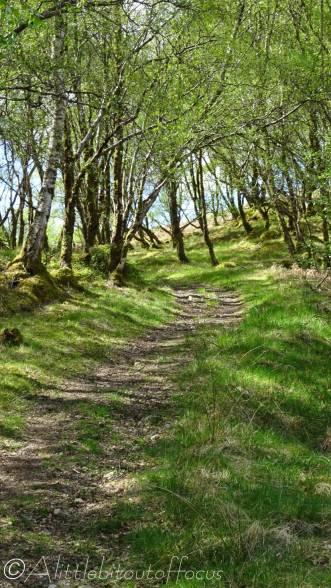 3 Path through birch wood