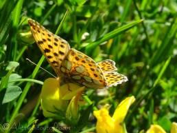 31 Butterfly