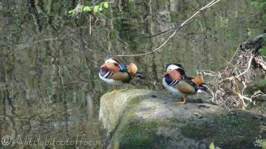 4 Mandarin ducks