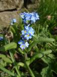 7 Forget-me-nots