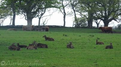 7 Highland cows and deer