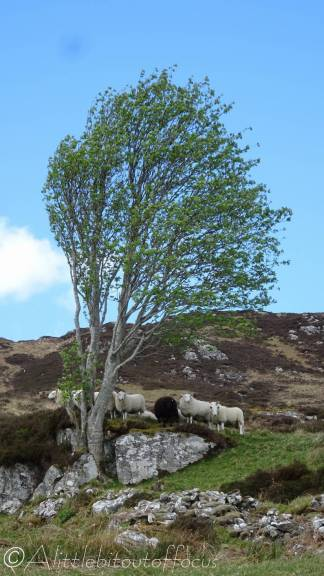 8 Blown tree and sheep