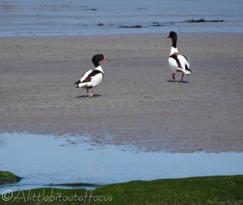 9 Shelducks