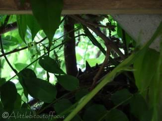 1 Blackbird beaks