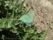 16 Green Hairstreak